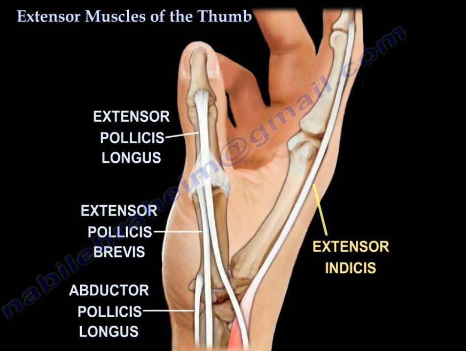 extensors of thumb