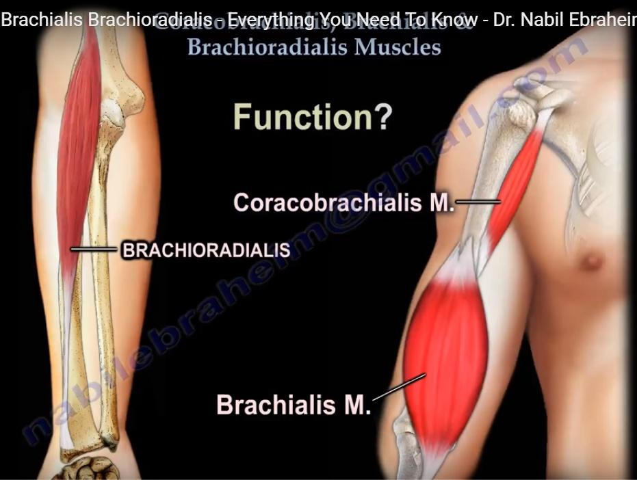 Anatomy of brachialis, coracobrachialis and brachioradialis