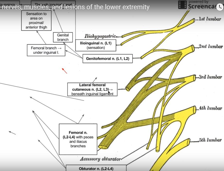 Anatomy and Innervation of the Lumbar Plexus — OrthopaedicPrinciples.com