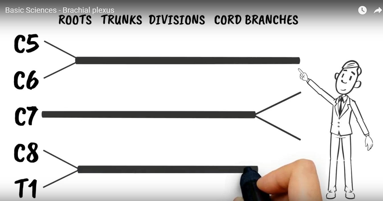 Brachial Plexus simplified
