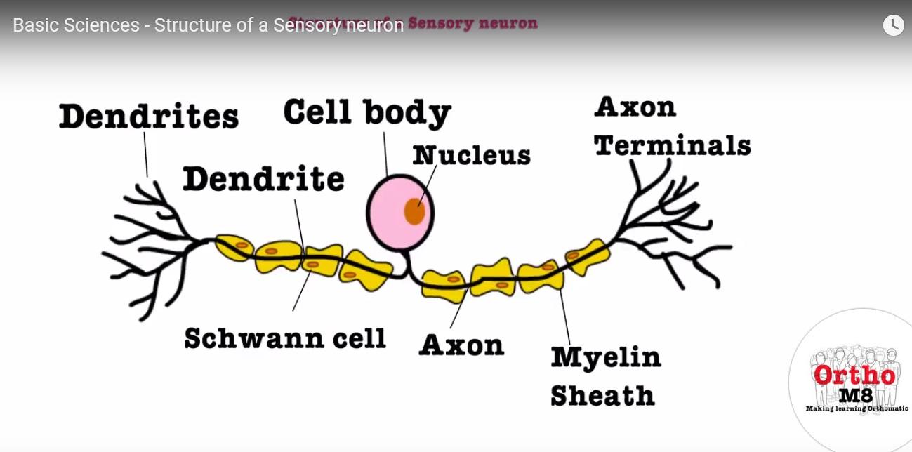 Sensory neuron structure structure of a sensory neuron orthopaedicprinciples ccuart Choice Image
