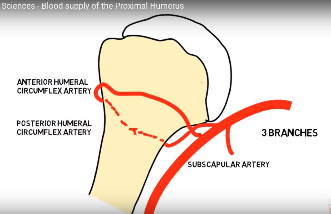 Blood supply of the Proximal Humerus — OrthopaedicPrinciples.com