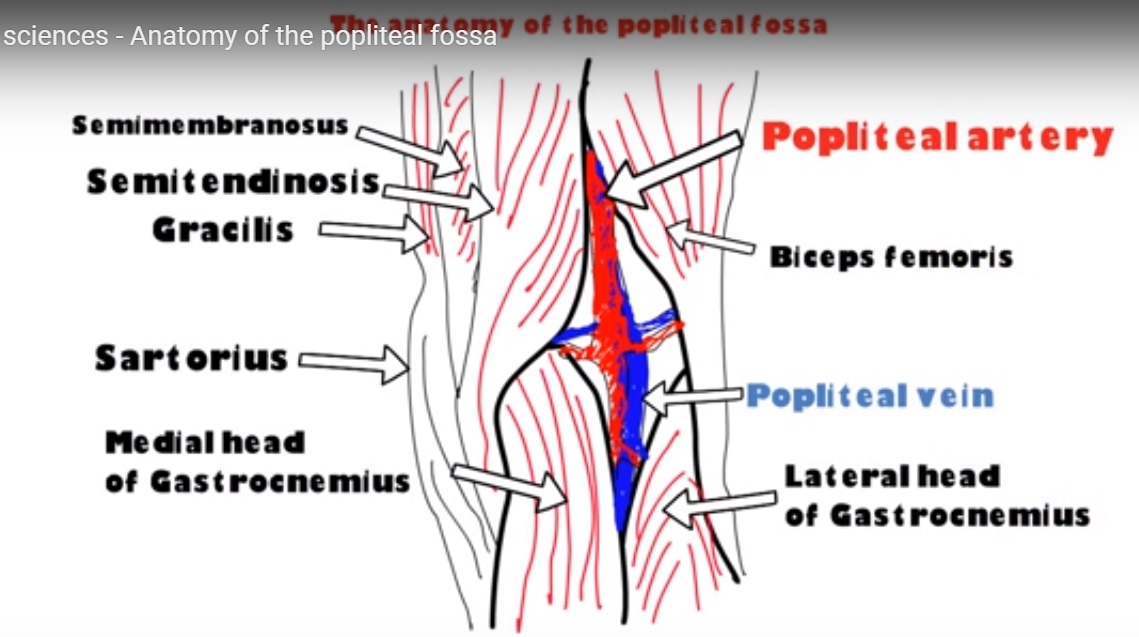 Popliteal Fossa Anatomy Study Photo Gallery On Website With ...