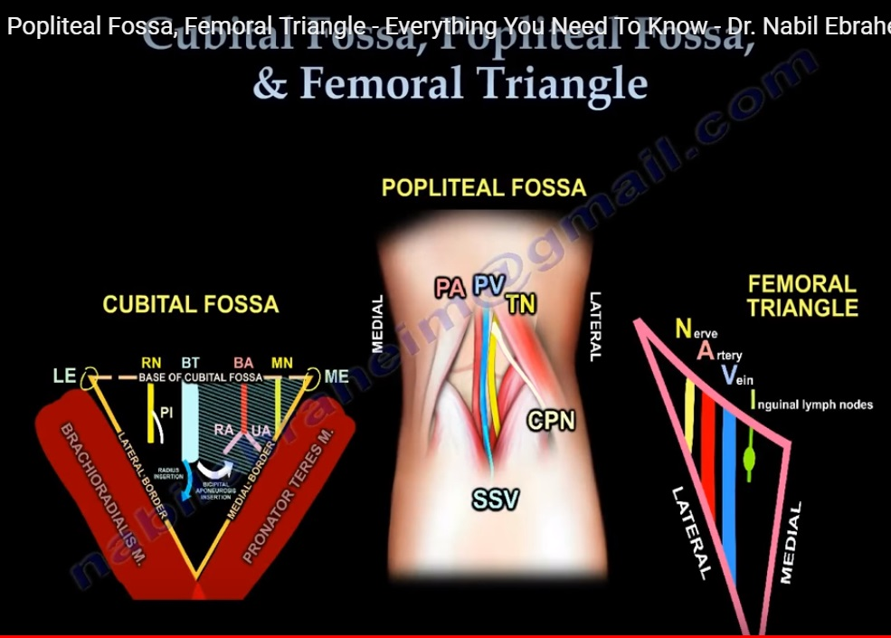 Anatomy of Cubital fossa, Popliteal fossa and the Femoral Triangle ...